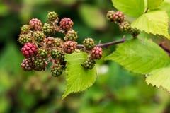生长在藤2的新鲜的成熟黑莓 免版税库存图片