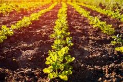 生长在行的花生幼木 种田的和从事园艺的概念 有机农场 库存图片