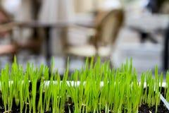 生长在街道的一棵年轻绿色新鲜的草的新芽 免版税图库摄影