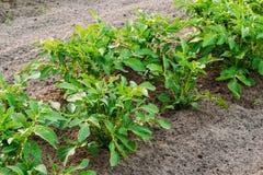 生长在被上升的床上的土豆厂在菜园里在夏天 免版税库存照片