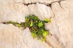 生长在裂缝的植物 免版税库存照片