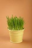 生长在褐色的小桶的春天草 免版税库存照片