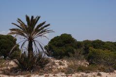 生长在西班牙的棕榈树 免版税图库摄影