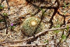 生长在西部得克萨斯mequite森林里的狂放的当地猬仙人掌  库存照片