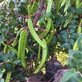 生长在角豆树的绿色种子荚 库存图片