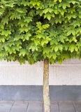 生长在路面的槭树 库存图片