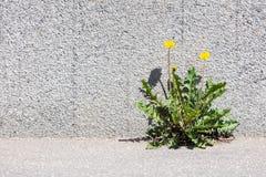 生长在边路和石墙之间的黄色蒲公英 免版税库存图片