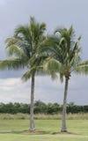 生长在迈阿密海滩的两棵棕榈树 免版税图库摄影