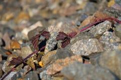 生长在铁路堤防的狂放的葡萄 库存图片