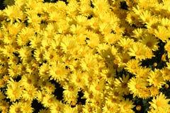 生长在阳光下的明亮的黄色菊花 免版税库存照片