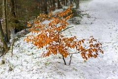 生长在雪的年轻树 库存照片