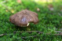 生长在青苔的蘑菇 免版税图库摄影