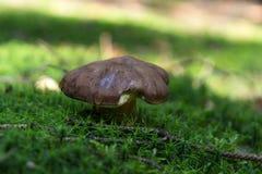 生长在青苔的蘑菇 免版税库存照片