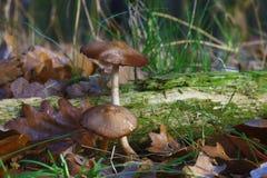 生长在青苔的鹅蘑菇 免版税库存照片