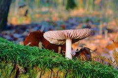 生长在青苔的鹅蘑菇 免版税库存图片