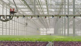 生长在非常大植物中的年幼植物自商业温室 影视素材