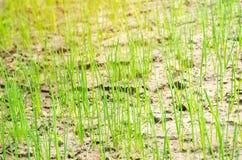 生长在领域或庭院,种田,农业,菜,环境友好的农产品, a的年轻绿色韭葱或葱 库存照片