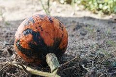 生长在领域的一个成熟南瓜的细节 库存图片
