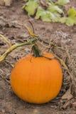 生长在领域的充满活力的橙色南瓜,扭转词根和藤 免版税图库摄影