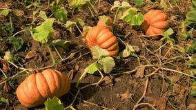 生长在领域的南瓜在秋天 股票视频