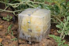 生长在领域的四个方形的黄色西瓜 免版税库存图片