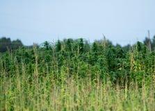 生长在领域的大麻植物 库存图片