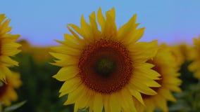生长在领域的年轻开花的向日葵的关闭日落天 影视素材