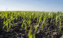 生长在领域的年轻麦子幼木 生长在土壤的年轻绿色麦子 关闭在发芽黑麦农业在a 免版税库存图片
