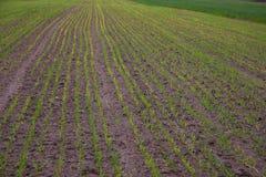 生长在领域的年轻麦子幼木 库存图片