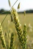 生长在领域的燕麦 免版税库存照片