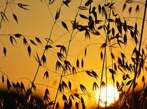生长在领域的燕麦 库存照片