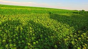 生长在领域的生态食物 股票视频
