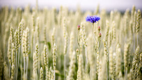 生长在领域的蓝色矢车菊 免版税图库摄影