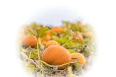 生长在领域的藤的南瓜,橙色和准备好收获, 库存照片