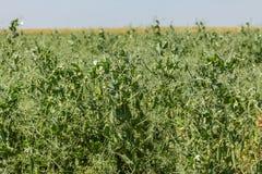 生长在领域的豌豆 库存照片