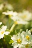 生长在领域的逗人喜爱的矮小的黄色报春花的春天公告在阳光下 免版税图库摄影