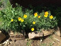 生长在领域的野生黄色和橙色鸦片 免版税库存照片