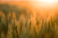 生长在领域的麦子植物 免版税库存照片