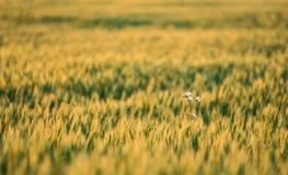 生长在领域的麦子植物 库存照片