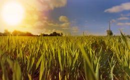 生长在领域的麦子 库存图片