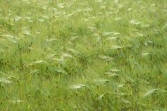 生长在领域的麦子 库存照片