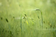 生长在领域的麦子 免版税库存照片