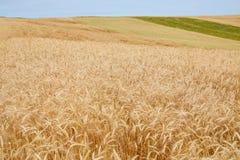 生长在领域的黑麦的金黄耳朵 库存照片