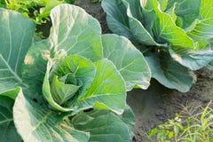 生长在领域,农村种田的圆白菜在西孟加拉邦,印度 图库摄影
