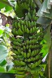 生长在香蕉树的香蕉 免版税库存照片