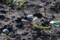 生长在黑暗的地球土壤的年轻圆白菜幼木 图库摄影