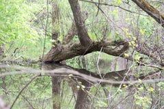 生长在水中的大树 免版税图库摄影