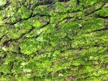 生长在100年橡树吠声的绿色青苔 免版税库存照片