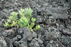 生长在贫瘠熔岩岩石的年幼植物 免版税库存图片