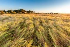 生长在绿色农田的年轻麦子在蓝色下 免版税图库摄影